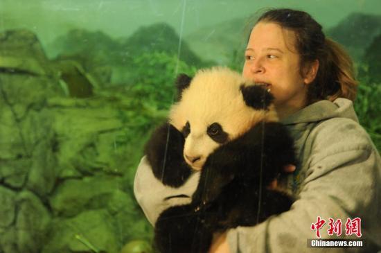 """旅美大熊猫""""宝宝""""明年将离开华盛顿返回中国"""