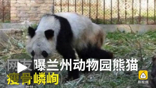 """日前,有微博网友晒出兰州动物园大熊猫""""蜀兰""""的近照,称其在9个月内"""