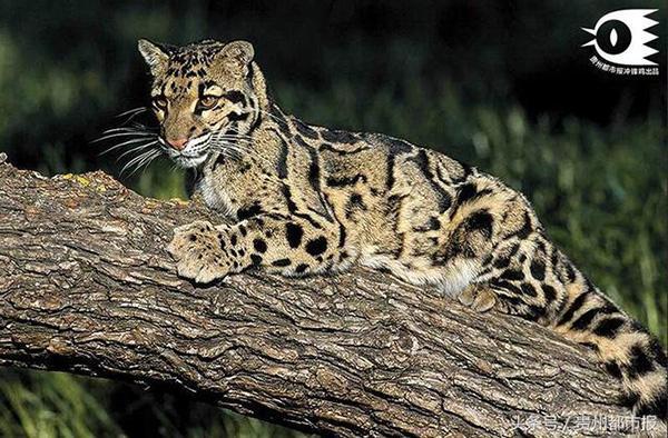 梵净山原始森林大型猫科动物云豹.