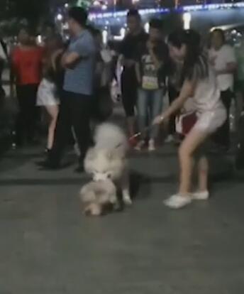 萨摩犬突然发狂咬死小型宠物犬 主人踢打死不松口
