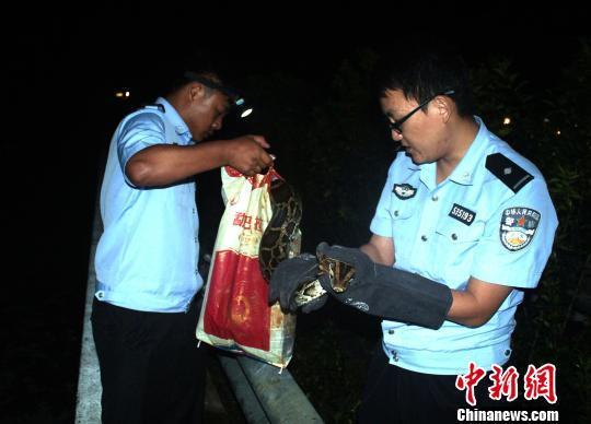 国家一级保护动物缅甸蟒横穿高速险遭碾 警方救助