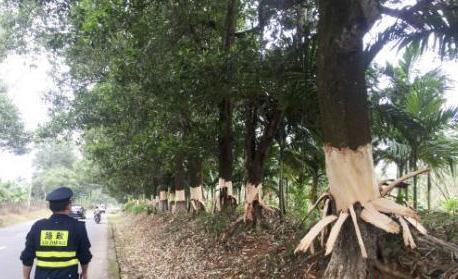 海南:五嫌犯刀剥百余棵树皮被批捕