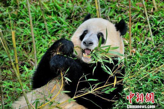 一只大熊猫正在吃竹子. 程景伟 摄