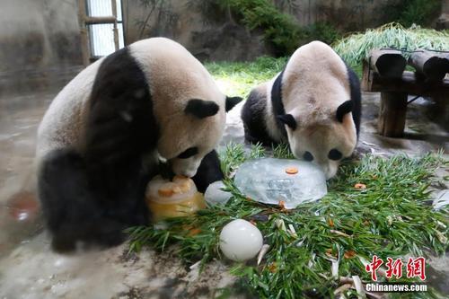 """大熊猫""""成就""""病危 术后康复面临三大可能"""