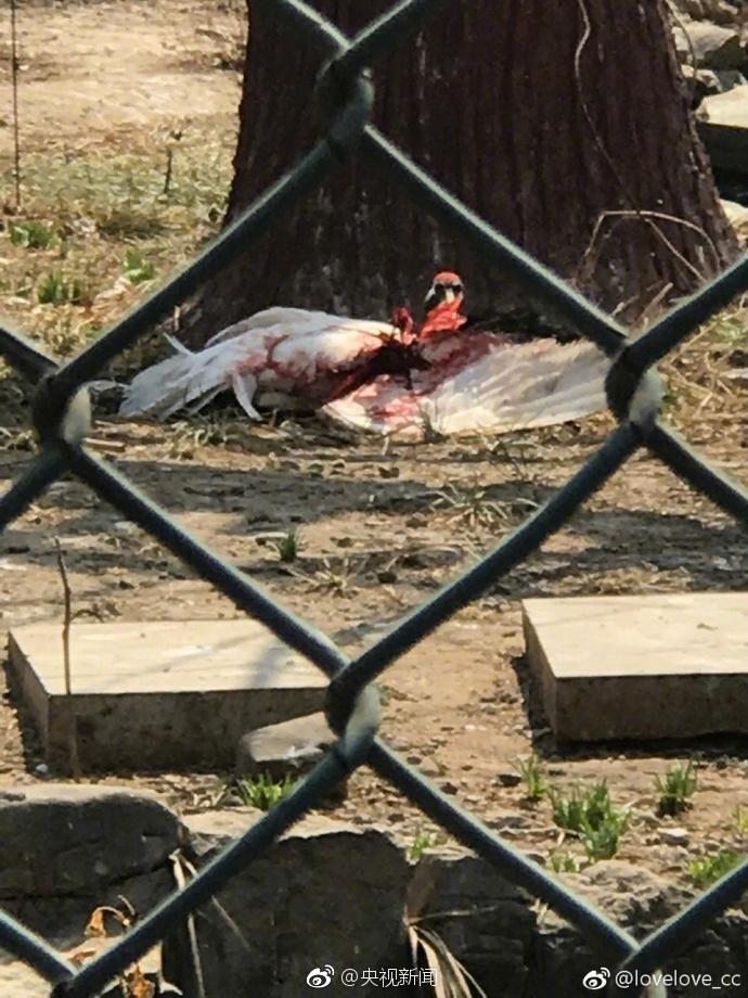 丹顶鹤被打出血 园方:饲养员被啄后反击 已停