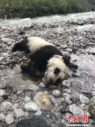 """大熊猫疑因暴雨导山洪暴发落水溺亡 网友""""泪目"""""""