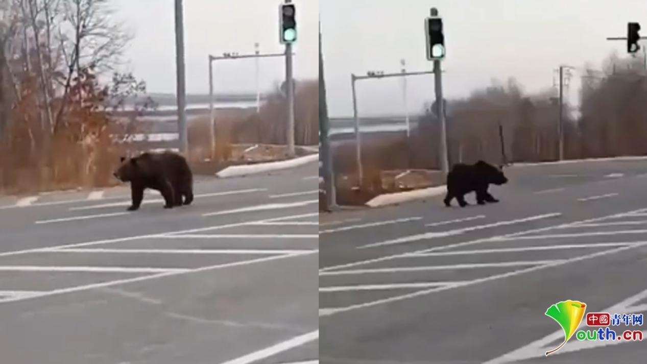 """黑龙江一保护区两熊一虎仍""""在逃"""