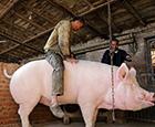 卖不出的900斤大猪.jpg