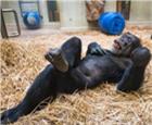 大猩猩过60岁生日.jpg